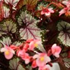 Begonia My Best Friend
