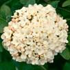 Viburnum Plant - Carlcephalum