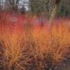 Cornus sanguinea Winter Beauty 3 Litre Pot x 1