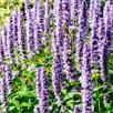 Agastache Plants - Liquorice Blue