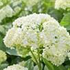 Hydrangea Arborescens - Annabelle