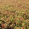 Spiraea japonica SPARKLING CHAMPAGNE (PBR)