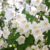 Philadelphus Starbright