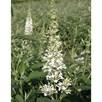 Buddleja Argus® Plant - White