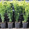 Buxus sempervirens Plant