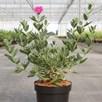 Cistus pulverulentus Plant - Sunset