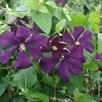 Clematis viticella Plant - Etoile Violette