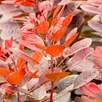 Cotinus cog. Plant - Royal Purple