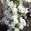 Exochorda Plant - The Bride