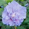 Hibiscus Syr. Blue Chiffon Noble