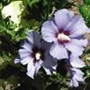 Hibiscus syriacus Plant - Marina (O. Bleu)