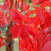 Parthenocissus quinquefolia Plant 2 Litre Pot x 1