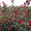 Photinia (Standard) Little Red Robin 3 Litre Pot x 1
