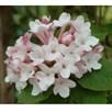Viburnum carlesii Plant - Aurora