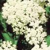Viburnum dentatum Plant - Blue Muffin Christom
