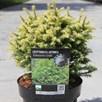 Cryptomeria japonica Plant - Vilmorin Gold