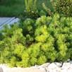 Pinus Mugo Pumilio Plant