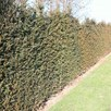 Taxus baccata Plant
