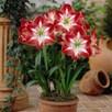 Amaryllis Collection 4 Bulbs