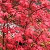 Acer Palmatum Plant - Beni-Malko 3 Litre Pot x 1