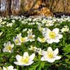 Anemone Bulbs - Nemerosa
