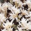 Colchicum Bulbs - autumnale Alboplenum (2)