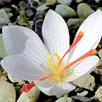 Saffron Crocus Bulbs - White