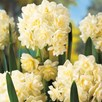 Narcissus Scented Collection