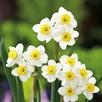 Daffodil Bulbs - Minnow