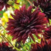 Dahlia  Fimbriata Twin Pack