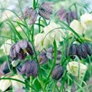 Fritillaria Bulbs - Meleagris