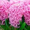 Hyacinth Bulbs - Pink Pearl