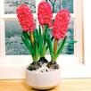 Hyacinth Bulbs (Indoor) - Jan Bos