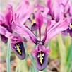 Iris histroides Bulbs - George