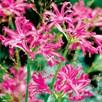 Nerine Bowdenii Bulbs