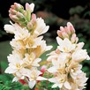 Polyanthes Tuberose The Pearl