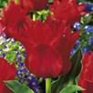 Tulip Bulbs - Red Riding Hood