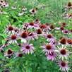 Echinacea Plant -  Nectar Pink