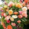 Begonia Tubers - Parisienne Trailing