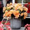 Begonia Plant - Solenia Apricot