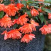 Begonia Belleconia Soft Orange (6)