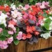 Begonia Plug Plants - F1 Devils Delight Mixed