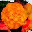 Begonia Nonstop Fire (10)