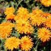 Calendula Seeds - Calexis Orange