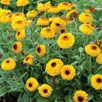 Calendula Seeds - Bulls Eye