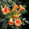Campsis t. Indian Summer ®