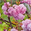 Flowering Cherry Cheals Weeping