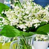 Lily of the Valley Convallaria Majalis 7 Pips