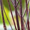 Cornus Plant - Kesselringii