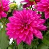 Dahlia Labella Maggiore Deep Rose 2Ltr